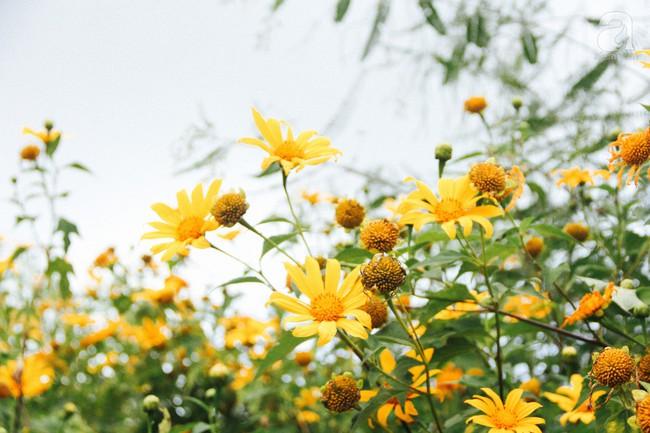 Tháng 11, về Đà Lạt ngắm hoa dã quỳ nở vàng rực rỡ khắp các nẻo đường đi - Ảnh 7.
