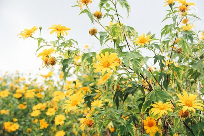 Tháng 11, về Đà Lạt ngắm hoa dã quỳ nở vàng rực rỡ khắp các nẻo đường đi - Ảnh 2.