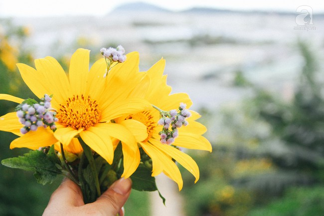 Tháng 11, về Đà Lạt ngắm hoa dã quỳ nở vàng rực rỡ khắp các nẻo đường đi - Ảnh 1.