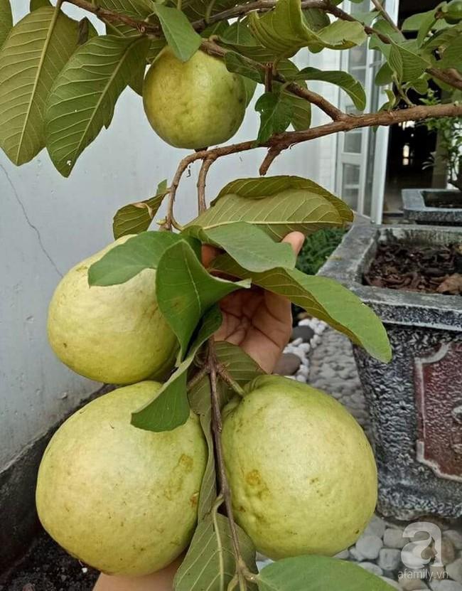 Kinh nghiệm trồng cả vườn cây trái xum xuê như trang trại trên sân thượng của mẹ đảm ở Biên Hòa - Ảnh 4.