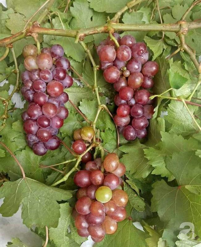 Kinh nghiệm trồng cả vườn cây trái xum xuê như trang trại trên sân thượng của mẹ đảm ở Biên Hòa - Ảnh 14.