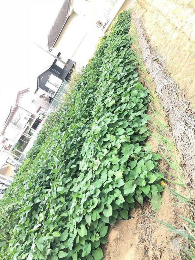 Khu vườn 1000m² giúp mẹ Việt ở Nhật thỏa sức trồng đủ loại rau quả, cây trái của quê hương - Ảnh 10.