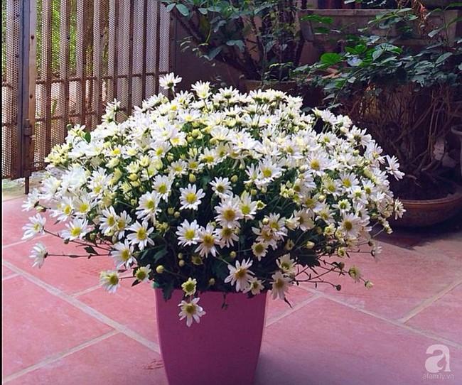 Làm đẹp nhà đón mùa đông Hà Nội với cúc họa mi đẹp dịu dàng, bình yên  - Ảnh 12.