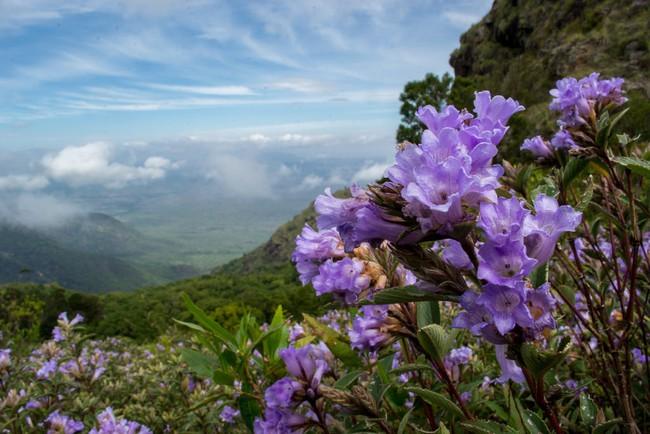 Loài hoa được mệnh danh là bí mật xứ Ấn: 12 năm mới nở một lần, phủ đầy màu tím biếc khắp các ngọn đồi - Ảnh 3.