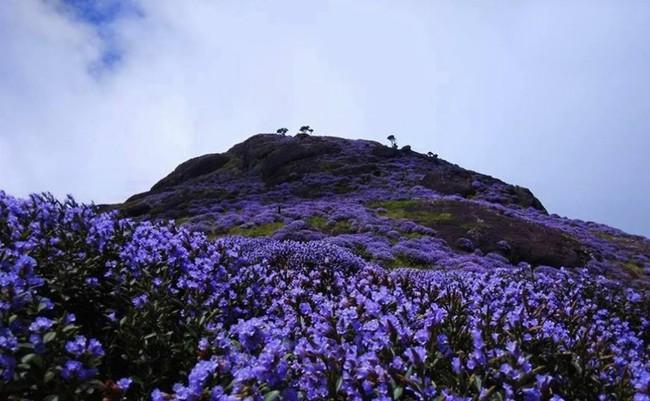 Loài hoa được mệnh danh là bí mật xứ Ấn: 12 năm mới nở một lần, phủ đầy màu tím biếc khắp các ngọn đồi - Ảnh 2.
