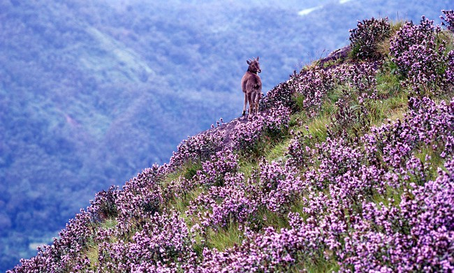 Loài hoa được mệnh danh là bí mật xứ Ấn: 12 năm mới nở một lần, phủ đầy màu tím biếc khắp các ngọn đồi - Ảnh 6.