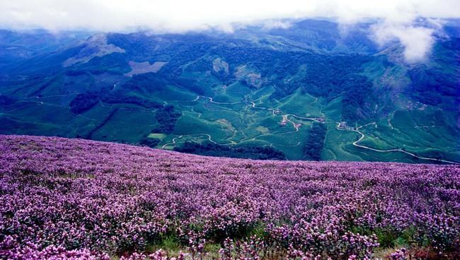 Loài hoa được mệnh danh là bí mật xứ Ấn: 12 năm mới nở một lần, phủ đầy màu tím biếc khắp các ngọn đồi - Ảnh 1.