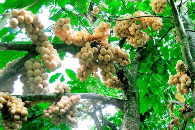 Bòn bon xứ Quảng: từ quả rừng quê nghèo trở thành cực phẩm nam trân vì có công cứu đói vua Gia Long - Ảnh 2.