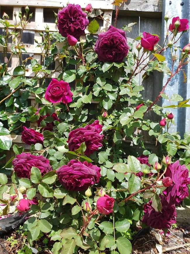 Khu vườn trăm hoa đua nở rực rỡ như chốn thiên đường của người phụ nữ Việt ở Úc - Ảnh 35.