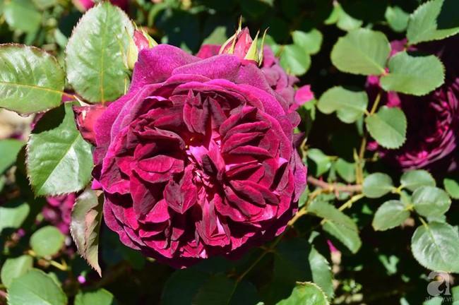 Khu vườn trăm hoa đua nở rực rỡ như chốn thiên đường của người phụ nữ Việt ở Úc - Ảnh 34.