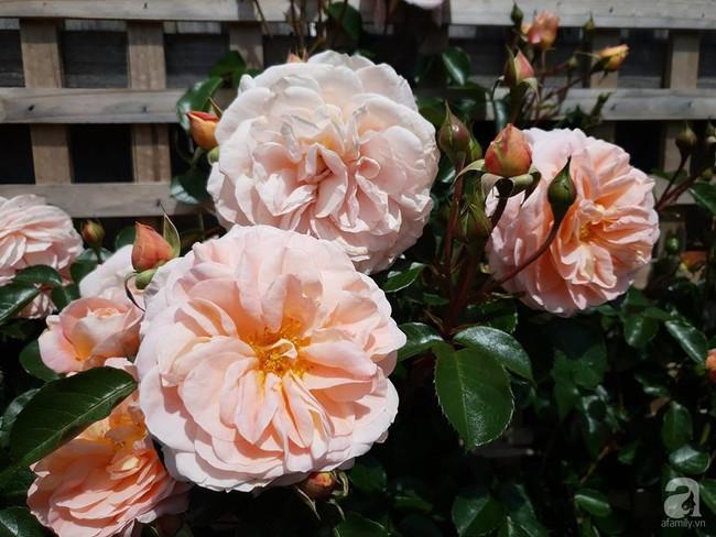 Khu vườn trăm hoa đua nở rực rỡ như chốn thiên đường của người phụ nữ Việt ở Úc - Ảnh 32.