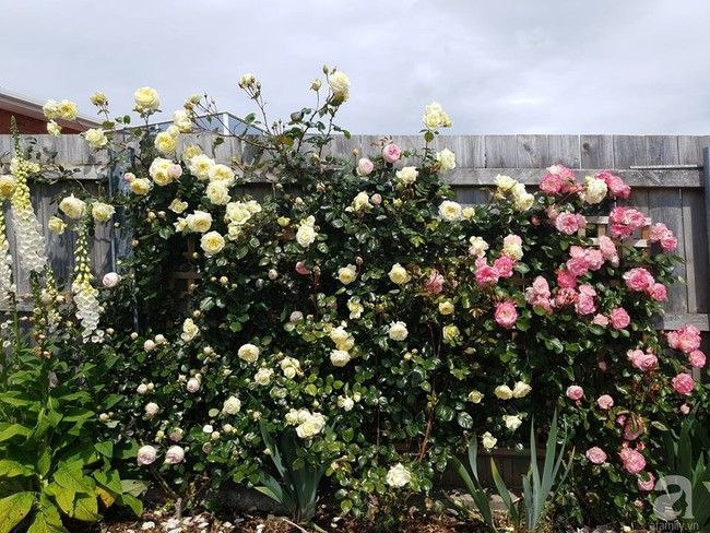 Khu vườn trăm hoa đua nở rực rỡ như chốn thiên đường của người phụ nữ Việt ở Úc - Ảnh 6.