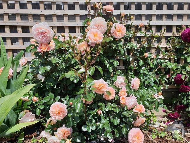 Khu vườn trăm hoa đua nở rực rỡ như chốn thiên đường của người phụ nữ Việt ở Úc - Ảnh 3.