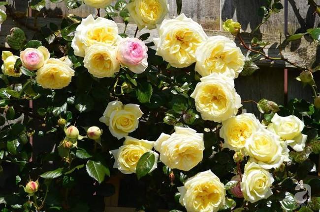 Khu vườn trăm hoa đua nở rực rỡ như chốn thiên đường của người phụ nữ Việt ở Úc - Ảnh 25.