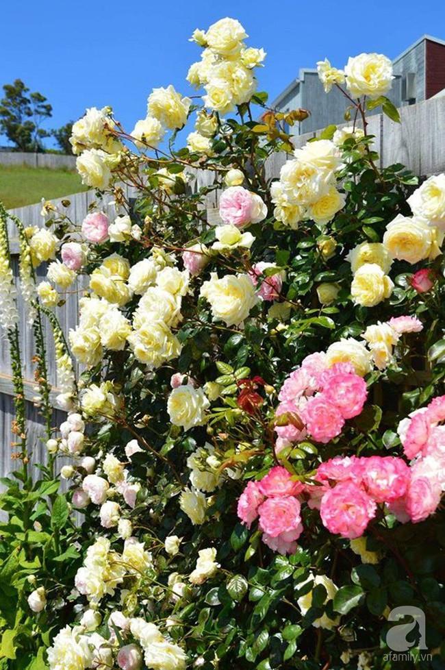 Khu vườn trăm hoa đua nở rực rỡ như chốn thiên đường của người phụ nữ Việt ở Úc - Ảnh 22.