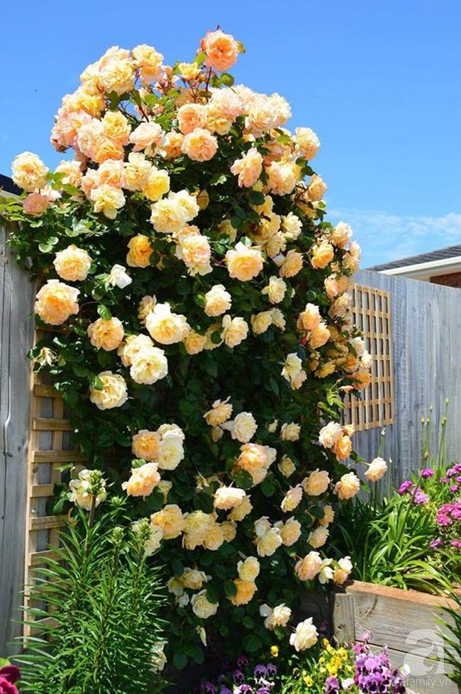 Khu vườn trăm hoa đua nở rực rỡ như chốn thiên đường của người phụ nữ Việt ở Úc - Ảnh 21.