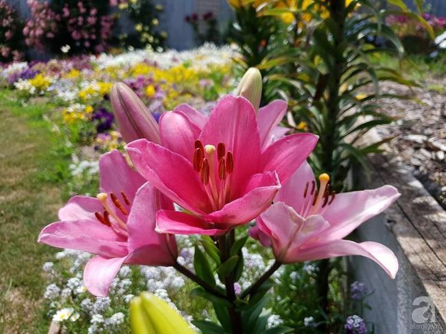 Khu vườn trăm hoa đua nở rực rỡ như chốn thiên đường của người phụ nữ Việt ở Úc - Ảnh 9.