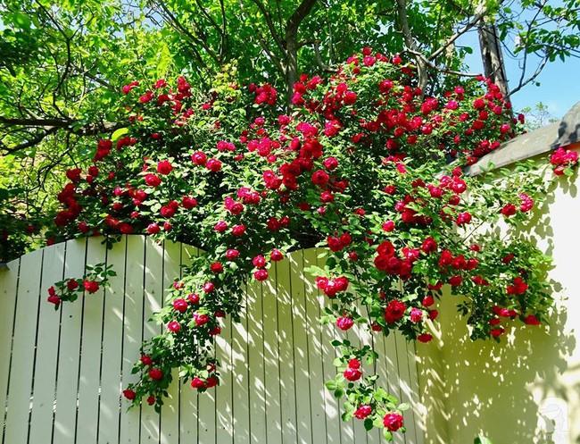 Ngôi nhà với khu vườn 600m² phủ kín các loại hoa đẹp như tranh vẽ của nữ giám đốc Việt ở Hungary - Ảnh 3.