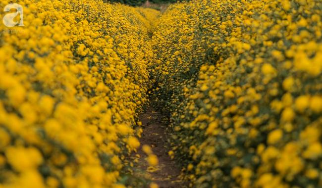 Có một mùa cúc chi vàng như nắng, đẹp nao lòng ở Hưng Yên - Ảnh 5.