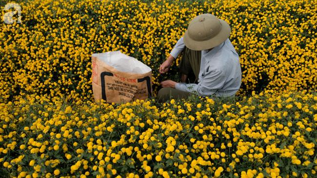 Có một mùa cúc chi vàng như nắng, đẹp nao lòng ở Hưng Yên - Ảnh 9.