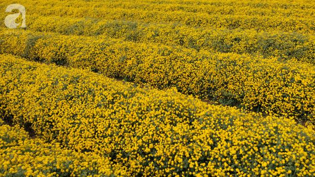 Có một mùa cúc chi vàng như nắng, đẹp nao lòng ở Hưng Yên - Ảnh 4.
