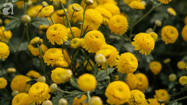 Có một mùa cúc chi vàng như nắng, đẹp nao lòng ở Hưng Yên - Ảnh 7.