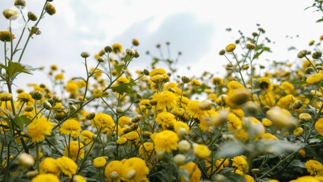 Có một mùa cúc chi vàng như nắng, đẹp nao lòng ở Hưng Yên - Ảnh 6.
