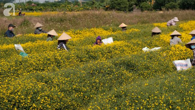 Có một mùa cúc chi vàng như nắng, đẹp nao lòng ở Hưng Yên - Ảnh 2.
