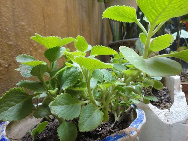 Giao mùa, đừng quên trồng húng chanh vừa làm đẹp nhà vừa trị ho cho bé - Ảnh 3.