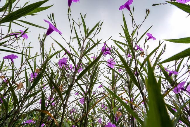 Người Hà Nội thích thú với con đường hoa chiều tím dài hơn 1km vô cùng thơ mộng ven sông Tô Lịch - Ảnh 9.