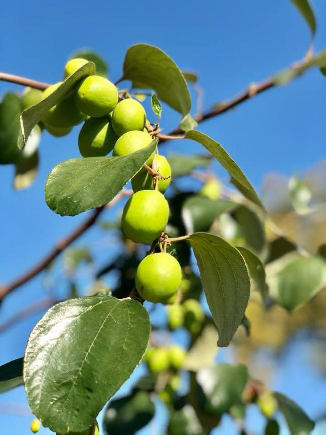 Khu vườn đủ các loại cây quả mang hương vị quê nhà của ca sĩ Bằng Kiều ở Mỹ - Ảnh 4.