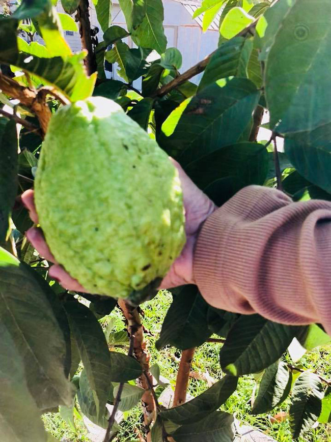 Khu vườn đủ các loại cây quả mang hương vị quê nhà của ca sĩ Bằng Kiều ở Mỹ - Ảnh 7.