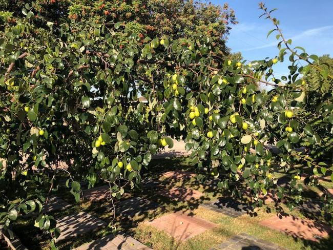 Khu vườn đủ các loại cây quả mang hương vị quê nhà của ca sĩ Bằng Kiều ở Mỹ - Ảnh 2.
