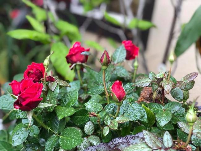 Khu vườn đủ các loại cây quả mang hương vị quê nhà của ca sĩ Bằng Kiều ở Mỹ - Ảnh 21.