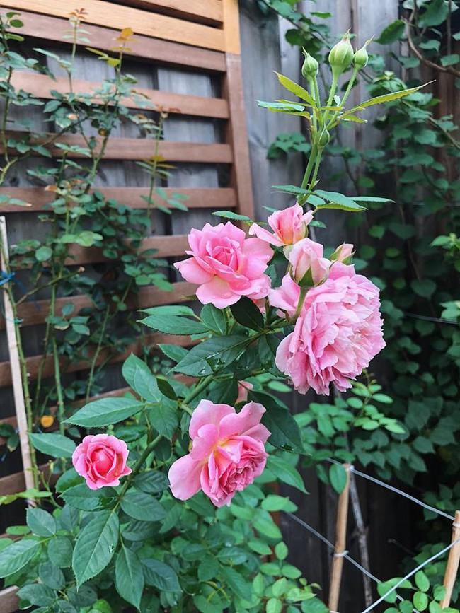 Khu vườn nhỏ xanh mát với rau sạch và hoa hồng trong biệt thự triệu đô của Tăng Thanh Hà - Ảnh 7.