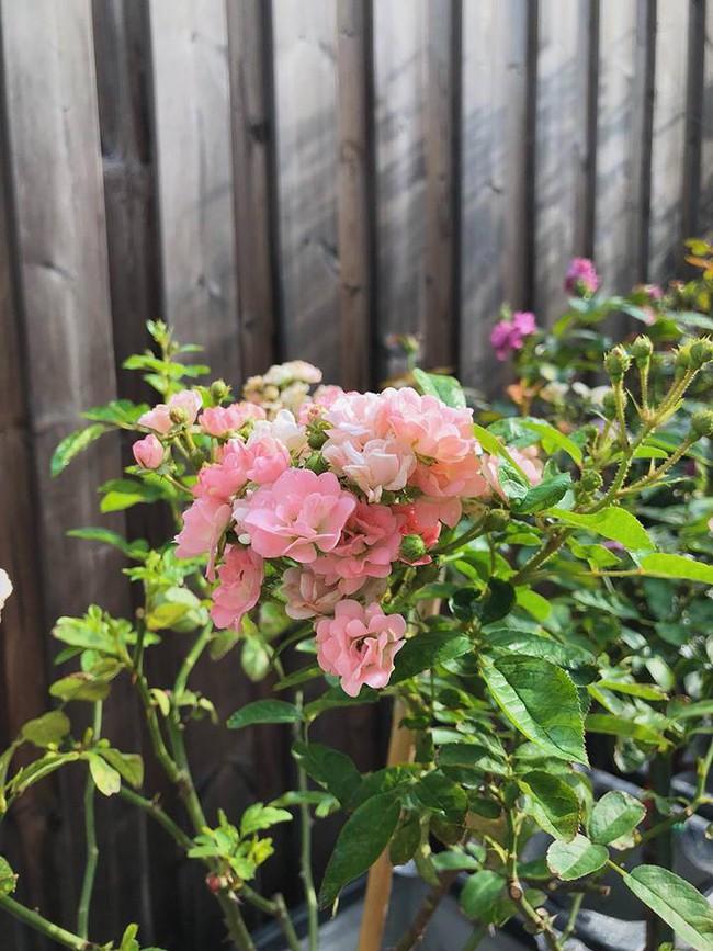 Khu vườn nhỏ xanh mát với rau sạch và hoa hồng trong biệt thự triệu đô của Tăng Thanh Hà - Ảnh 3.