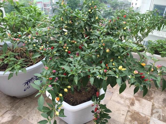 Vườn rau và hoa ở ban công với hơn 60 loại tươi tốt xanh mướt mắt của nữ dược sĩ ở Hà Nội - Ảnh 23.
