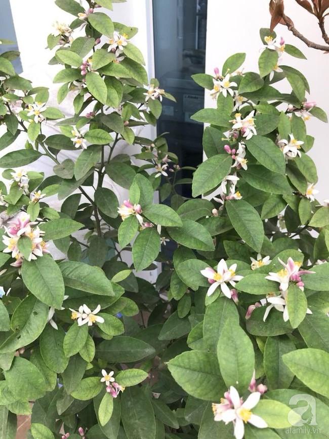 Vườn rau và hoa ở ban công với hơn 60 loại tươi tốt xanh mướt mắt của nữ dược sĩ ở Hà Nội - Ảnh 22.