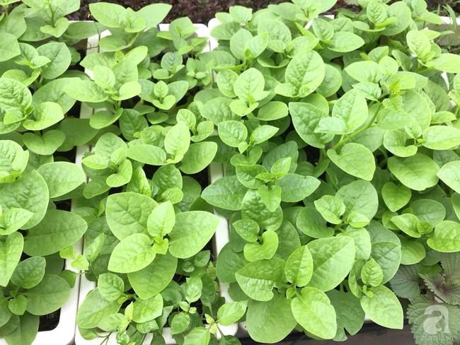 Vườn rau và hoa ở ban công với hơn 60 loại tươi tốt xanh mướt mắt của nữ dược sĩ ở Hà Nội - Ảnh 5.