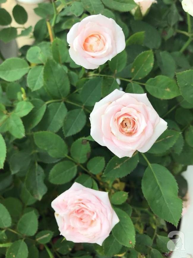 Vườn rau và hoa ở ban công với hơn 60 loại tươi tốt xanh mướt mắt của nữ dược sĩ ở Hà Nội - Ảnh 26.