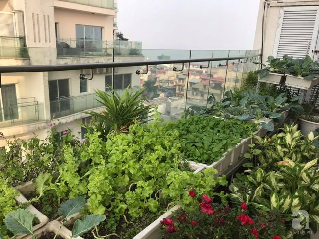 Vườn rau và hoa ở ban công với hơn 60 loại tươi tốt xanh mướt mắt của nữ dược sĩ ở Hà Nội - Ảnh 1.