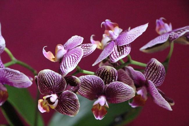 Những loại hoa vừa làm đẹp nhà vừa mang may mắn, tài lộc cho năm mới - Ảnh 3.