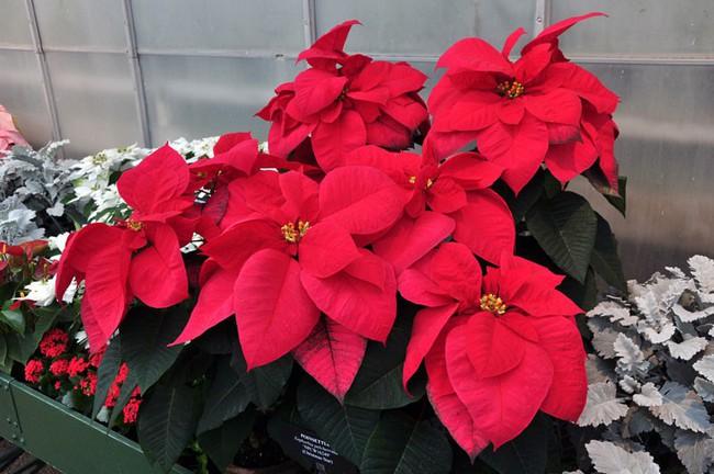 Những loại hoa vừa làm đẹp nhà vừa mang may mắn, tài lộc cho năm mới - Ảnh 10.