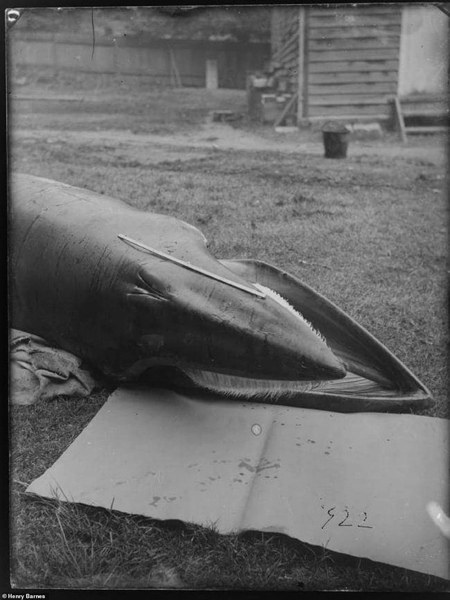 Lần đầu công bố ảnh những sinh vật to lớn kì bí ở Úc hơn 150 năm trước - Ảnh 12.