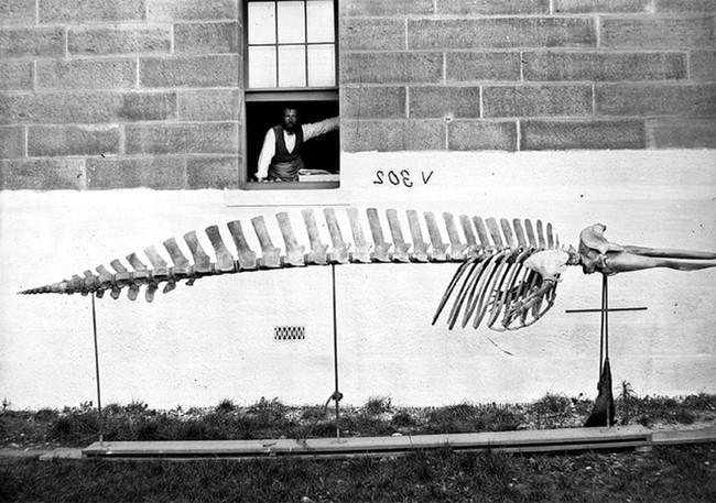 Lần đầu công bố ảnh những sinh vật to lớn kì bí ở Úc hơn 150 năm trước - Ảnh 4.