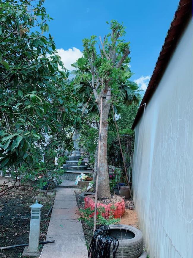 Nhà vườn bình yên và ngập tràn cây ăn quả của diễn viên Việt Trinh ở Bình Dương - Ảnh 2.