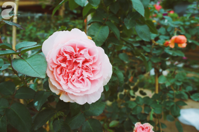 Khung cảnh tấp nập chở Tết về nhà tại chợ cây cảnh Xuân Quan, gây chú ý nhất là loại hoa mới nổi này - Ảnh 3.