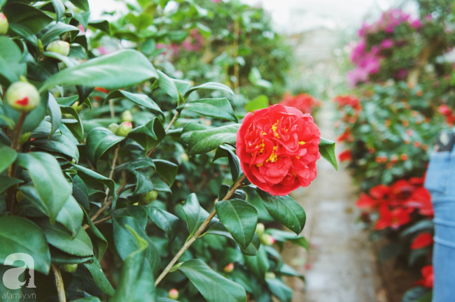 Khung cảnh tấp nập chở Tết về nhà tại chợ cây cảnh Xuân Quan, gây chú ý nhất là loại hoa mới nổi này - Ảnh 16.