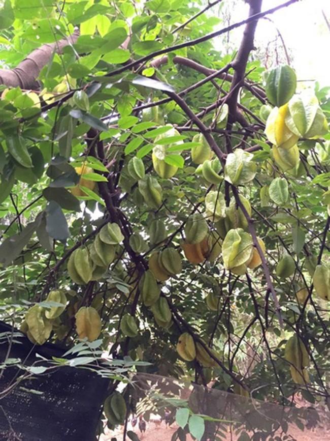 Sát Tết, NSƯT Chiều Xuân thu hoạch cả nghìn quả bưởi ở khu vườn của gia đình - Ảnh 21.