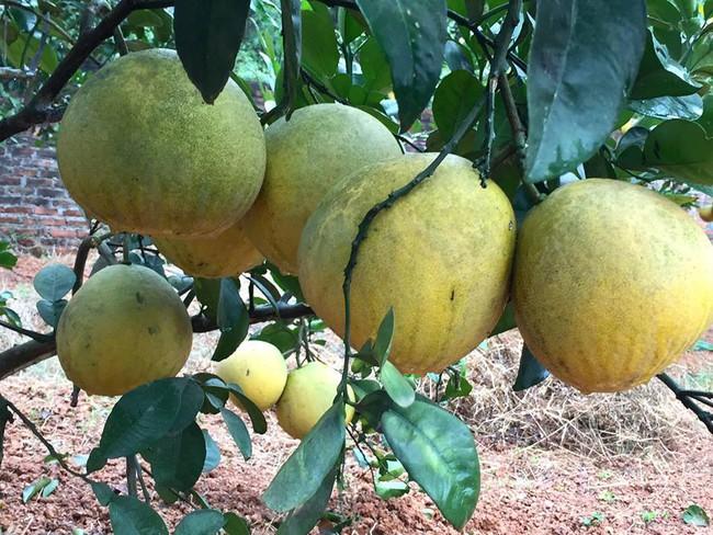 Sát Tết, NSƯT Chiều Xuân thu hoạch cả nghìn quả bưởi ở khu vườn của gia đình - Ảnh 11.